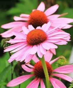 medicinal herbs seed kit