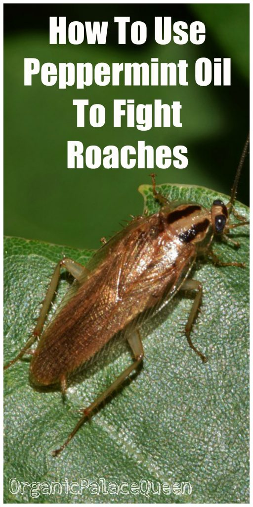Peppermint oil for roaches
