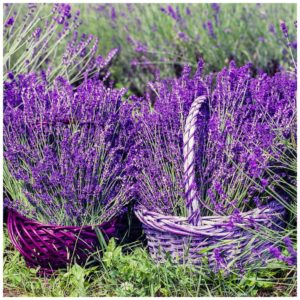lavender essential oil uses benefits
