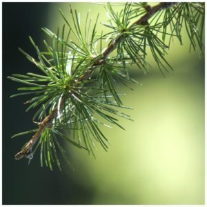 Health benefits of evergreen trees and shrubs.