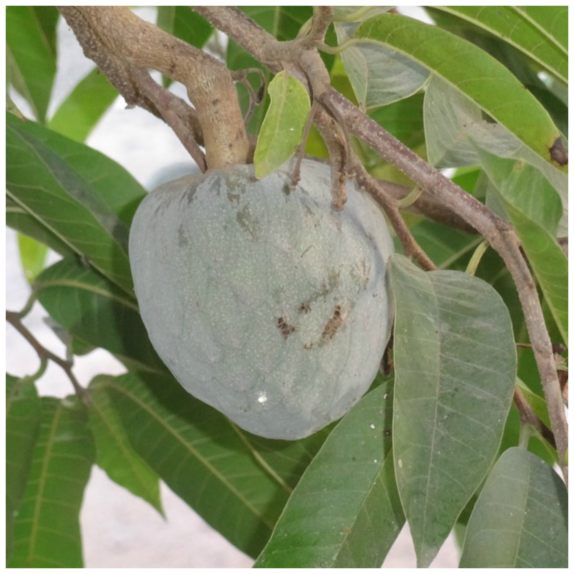 The soursop leaf remedy   Soursop Leaves